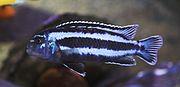Melanochromis Cyaneorhabdos c02