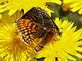 Melitaea athalia (in copula) - Heath fritillary (mating) - Шашечница аталия (спаривание) (28907151968).jpg