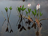 MenyanthesTrifoliata