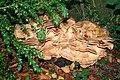 Meripilus giganteus JPG2b.jpg