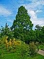 Metasequoia glyptostroboides 001.JPG