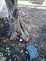 Meunier tree.jpg
