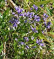 Milkwort (Polygala vulgaris) - geograph.org.uk - 474895.jpg
