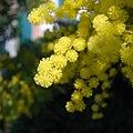 Mimosa-0001.jpg