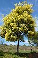 Mimosa blossom (13411944144).jpg