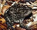 """Mississippi gopher frog """"aka"""" Dusky gopher frog (Rana sevosa) (12435848175).jpg"""