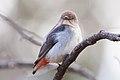 Mistletoebird (Dicaeum hirundinaceum).jpg