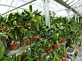 MoBot Orchid Greenhouse - Flickr - treegrow (2).jpg