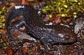 Mole Salamander (Ambystoma talpoideum) (39994300015).jpg