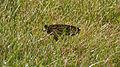 Monarch Butterfly (Danaus plexippus) - Guelph, Ontario.jpg