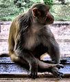 Monkey in Agra Fort (1580905867).jpg