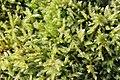 Moss - Brachythecium sp. (^) - panoramio (2).jpg