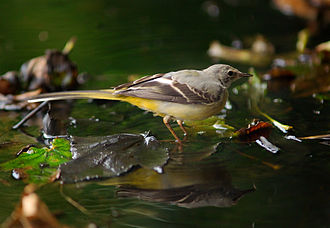 Grey wagtail - Nominate race (Belgium)