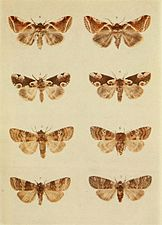 Moths of the British Isles Plate036.jpg