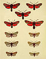 Moths of the British Isles Series2 Plate147.jpg