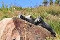 Mount Rainier - September 2017 - Hoary marmots 26.jpg