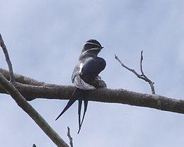 Moustached Treeswift (Hemiprocne mystacea)