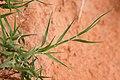 Muhlenbergia arenacea - Flickr - aspidoscelis (2).jpg