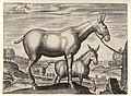Mula et Asinus 1578.jpg
