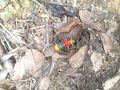Multi colored millipedes.jpg