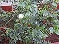 Murraya paniculata-1-csi chruch-salem-India.jpg