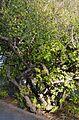 Murta (Myrtus communis), jardí botànic de València.JPG