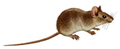 Mus musculus (white background).png