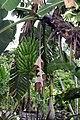 Musa acuminata 15zz.jpg