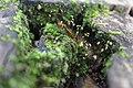Musgo encontrado na Trilha da Coruja, Chapada do Araripe.jpg