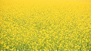Vasant Panchami - Vasant Panchami welcomes spring, people dress is yellow to mark flowering mustard fields