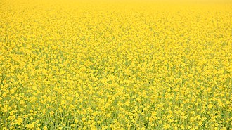 Vasant Panchami - Vasant Panchami welcomes spring, people dress in yellow to mark flowering mustard fields