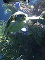 Myrtle the Green Sea Turtle Eating lettuce.jpg