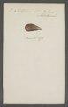 Mytilus bidens - - Print - Iconographia Zoologica - Special Collections University of Amsterdam - UBAINV0274 076 01 0007.tif