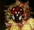Myzia oblongoguttata (Striped Ladybird)1.jpg