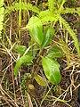 N.fusca croker range plant.jpg