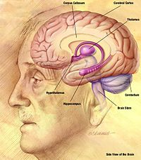 Human brain - Wikipedia, the free encyclopedia