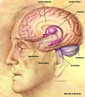 English: Drawing of the human brain, from the ...