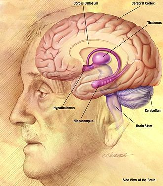 Spike-and-wave - A drawing of the human brain showing the thalamus and cortex relative to other structures.