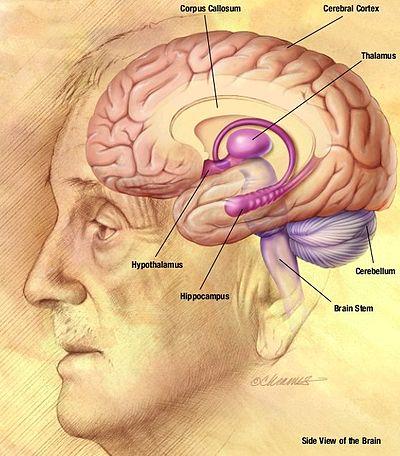 nucleus del cerebelo pdf