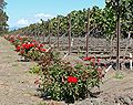 Napa vineyard with roses.jpg