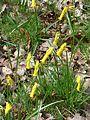 Narcissus cyclamineus - Flickr - peganum (1).jpg