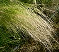 Nassella tenuissima spray.jpg