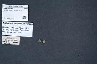 <i>Hirasea</i> genus of molluscs