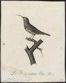Nectarinia afra - 1802 - Print - Iconographia Zoologica - Special Collections University of Amsterdam - UBA01 IZ19000013.tif
