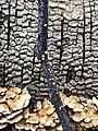 Nectria cinnabarina 61507850.jpg