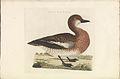 Nederlandsche vogelen (KB) - Anas penelope (348b).jpg