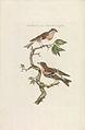 Nederlandsche vogelen (KB) - Fringilla montifringilla (225pl).jpg
