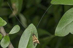Nemophora degeerella, Lodz(Poland)08(js).jpg