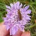 Nemophora scabiosella. Adelidae - Flickr - gailhampshire.jpg
