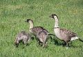Nene family (7123153563).jpg